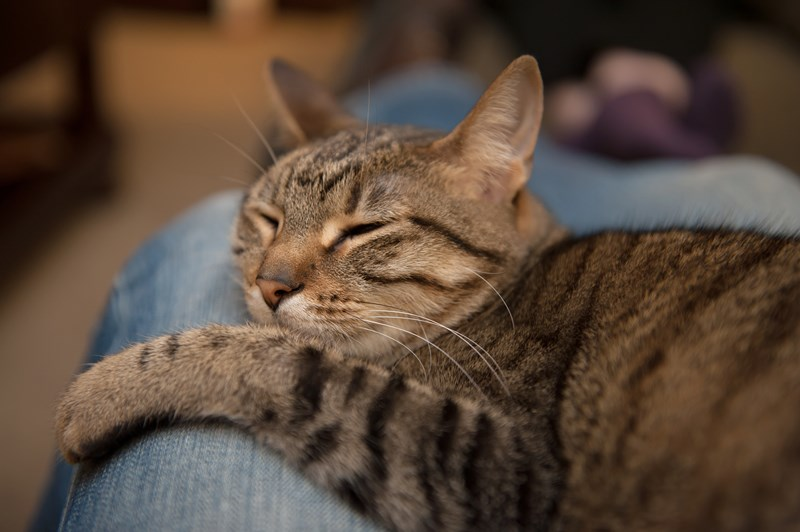 Cat-_napping_in_lap