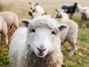 sheep_close_up