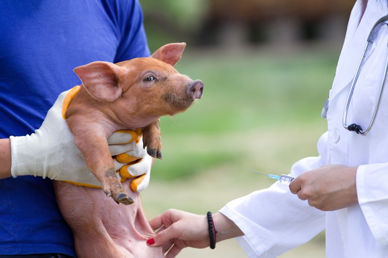 pig_vaccination